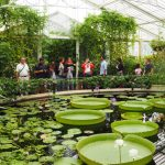 Kew Gardens, water lilies