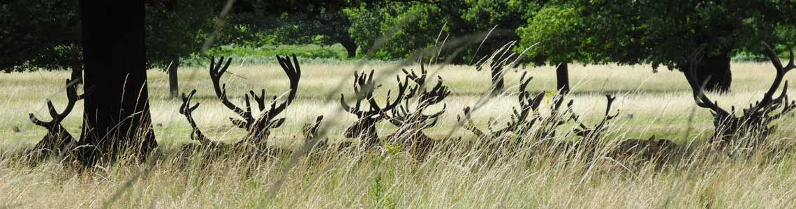 deer-in-richmond-park-london